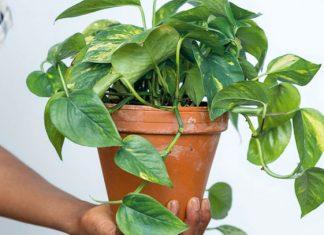 Una planta genéticamente modificada limpiará el aire
