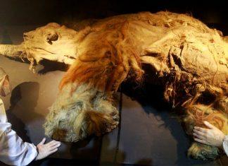 Reviven células de mamut muerto hace 28 mil años