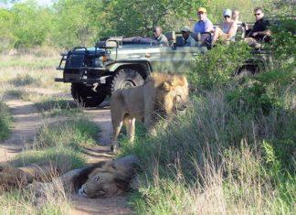 X Introduce el título aquí Elefante mata a cazador y su cuerpo es devorado por leones