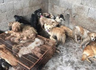 Rescatan a 62 perros que iban a ser cocinados en festival de China