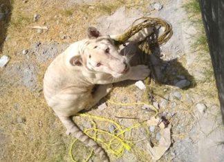 Tigre Blanco es llevado a zoológico de Tamatán