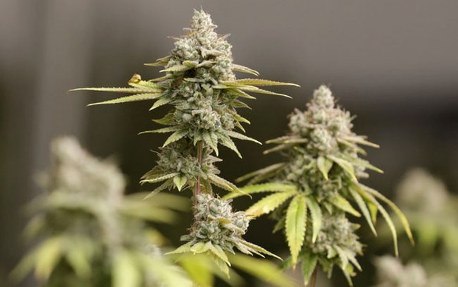 Buscan difundir beneficios de la Cannabis medicinal