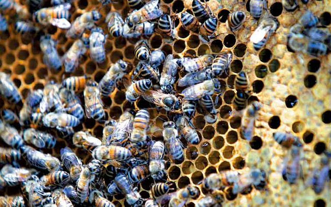 Conacyt perfila esquema para protección de abejas en península de Yucatán