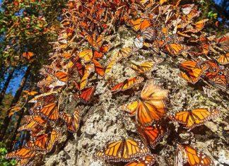 Santuarios de mariposa monarca se abren en Edomex y Michoacán