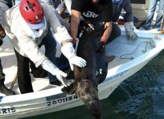 Rescatan a 5 lobos marinos en Sonora