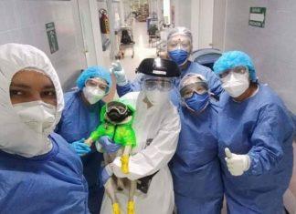 Llega un pug tuerto apoyar a médicos del ISSSTE