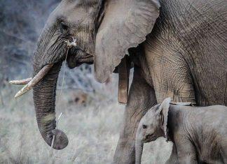 Mueren envenenados 12 elefantes en un parque de Zimbabue