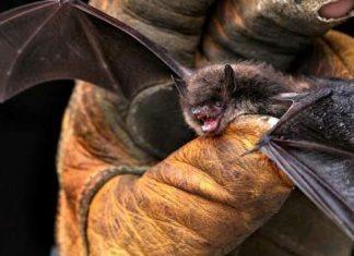 ¿Por qué los murciélagos son un saco de virus?