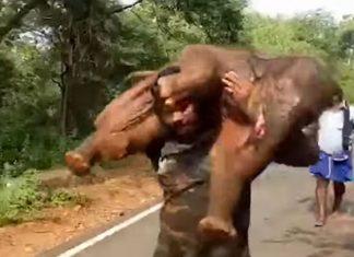Hombre carga a elefante bebé para reunirlo con su mamá