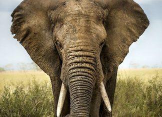 Cazador ilegal muere aplastado en estampida de elefantes