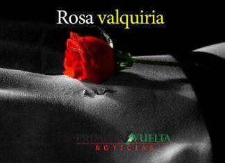 Rosa valquiria