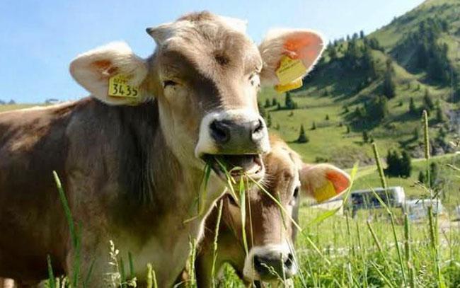 A la baja robo de ganado